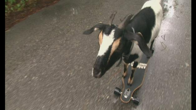World record breaking skateboarding goat