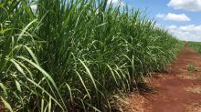 Late Brazil cane harvest may catch sugar traders off-guard