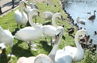 Deltenna's WiBE rural broadband device: swans and geese now free to browse