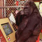 Koko, the extraordinary gorilla who mastered sign language, dies at 46