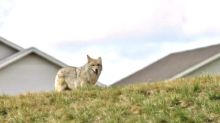 Are coyotes getting bigger?  UNB researchers on quest to find out