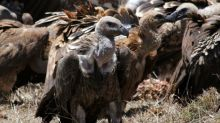 Poisoned carcasses killing off Kenya's vultures