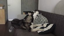 This husky's squeaky toy hilariously sends him into a howling fit