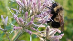 U.S. adds first bees to endangered species list