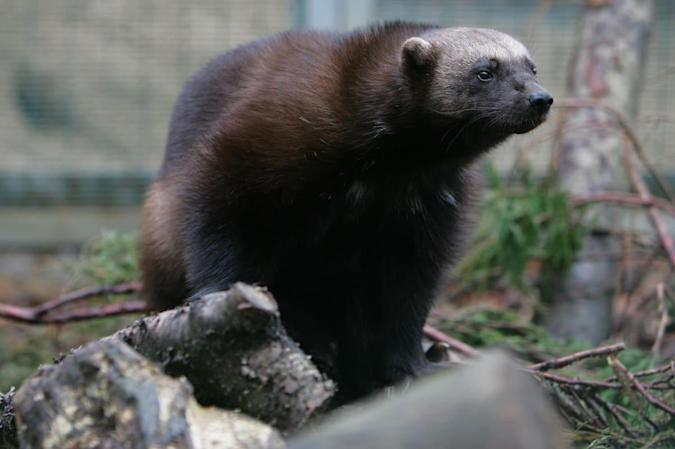 Scent-dispensing chips help researchers snap wild wolverines