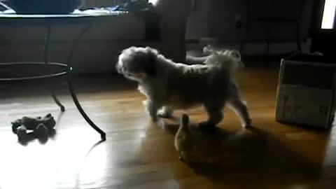 Grown Dog Scared of Baby Duckling