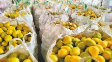 文旦生產過剩 果農半夜排隊求政府收購