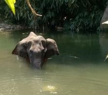 India outrage after pregnant elephant dies eating 'firecracker fruit'