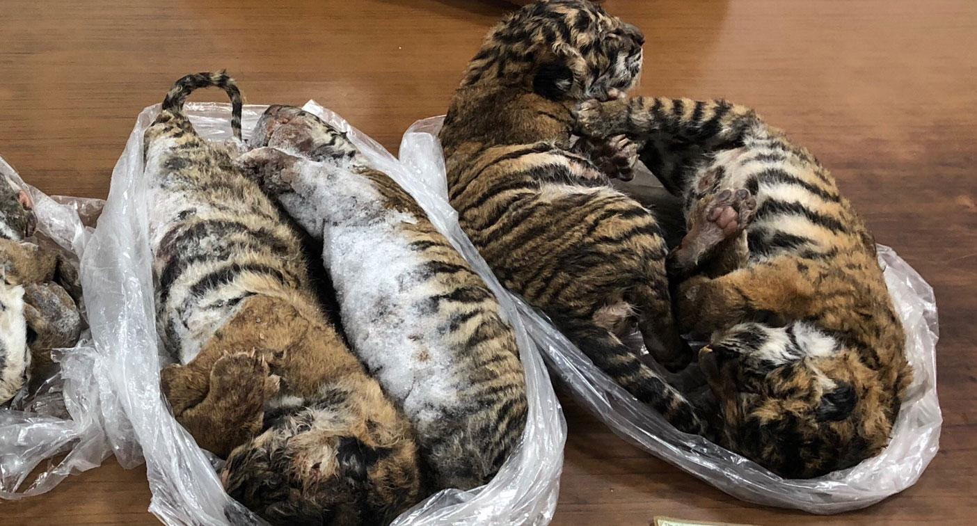Seven dead tiger cubs found frozen in back of car