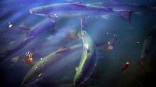 Tasmanian salmon should be off the menu for now, says conservation group