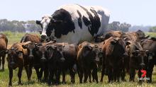 澳洲巨牛因體型太大逃過屠宰一劫