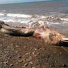 Bizarre Sea Creature With Fur And Beak Discovered Washed Up On Beach