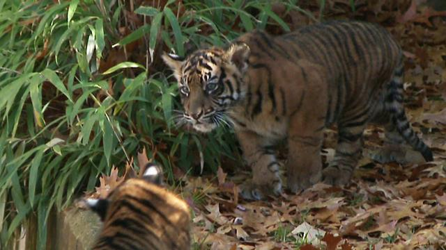 National Zoo's tiger cubs make their debut