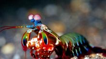 Mantis shrimps pack powerful punch thanks to ultra-strong hammers on limbs, finds study