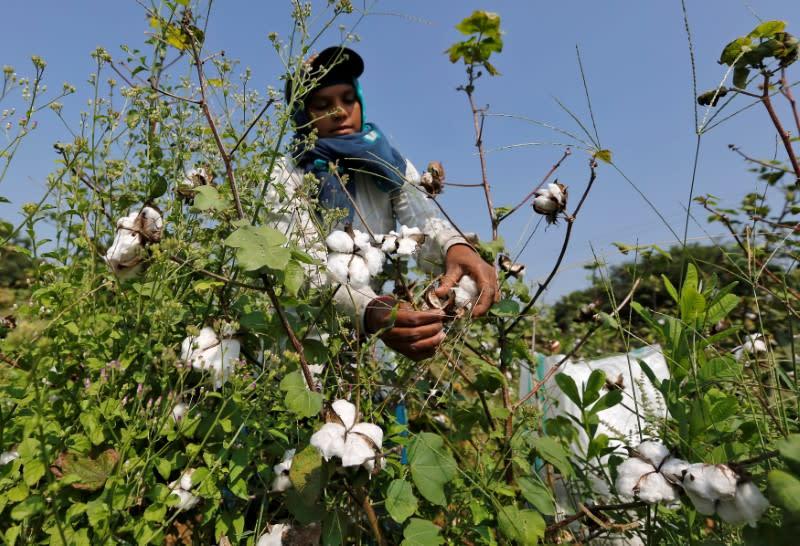 Tariffs on U S  may help India treble cotton exports to China