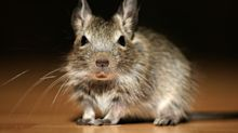 Los ratones se comen más de 15.000 euros de un cajero en India
