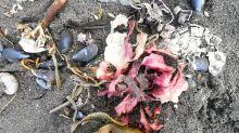 Kamtchatka: la nappe de pollution à la dérive dans le Pacifique