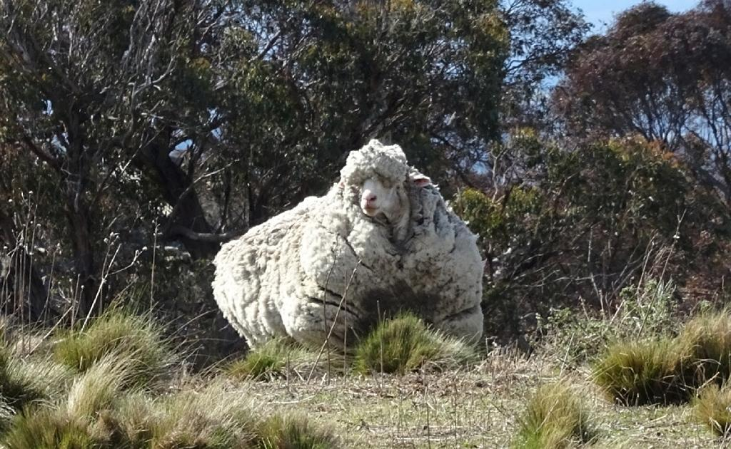 """Chris"" the sheep pictured on the outskirts of Canberra, Australia, before its life-saving shave (AFP Photo/)"