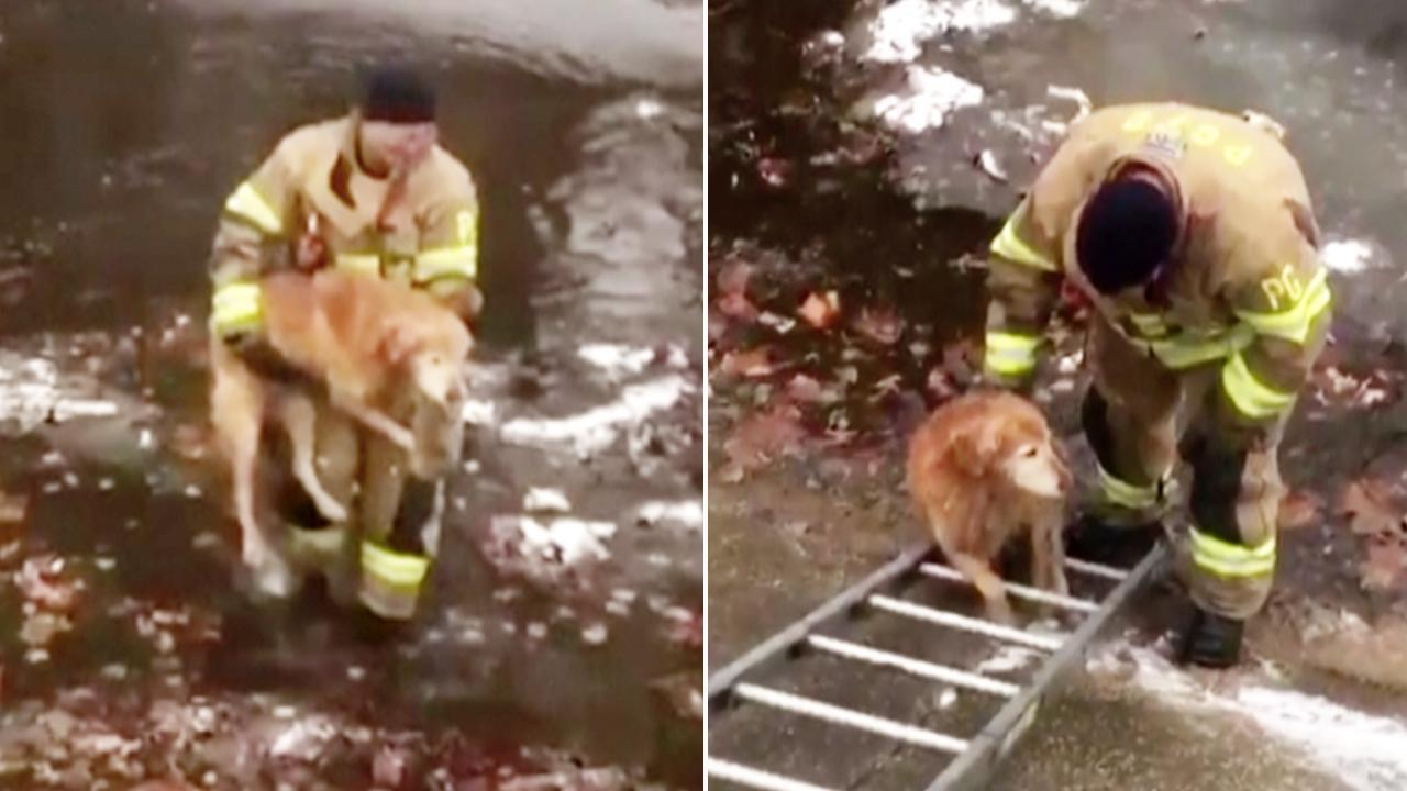 Firefighter Rescues Golden Retriever From Freezing Creek, Now Plans to Adopt It