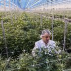 Marijuana producer Hexo stock falls after sequential revenue decline in the wake of Canadian legalization