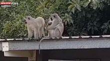 Afrique du Sud : Une maman singe retrouve son bébé, les touchantes images (Vidéo)