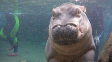 Filhote de hipopótamo faz sucesso com fotos cheias de fofura