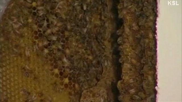 Bees Infest Couple's Bedroom Wall