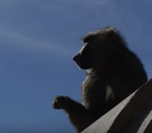 Baboons Work Together To Escape From Biomedical Testing Facility