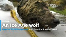 32,000-year-old wolf head found in Russian Arctic