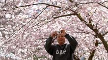 Cherry blossom trees in bloom bringing people together in Vancouver