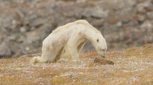 Dying polar bear roams iceless land for food in 'soul-crushing' video