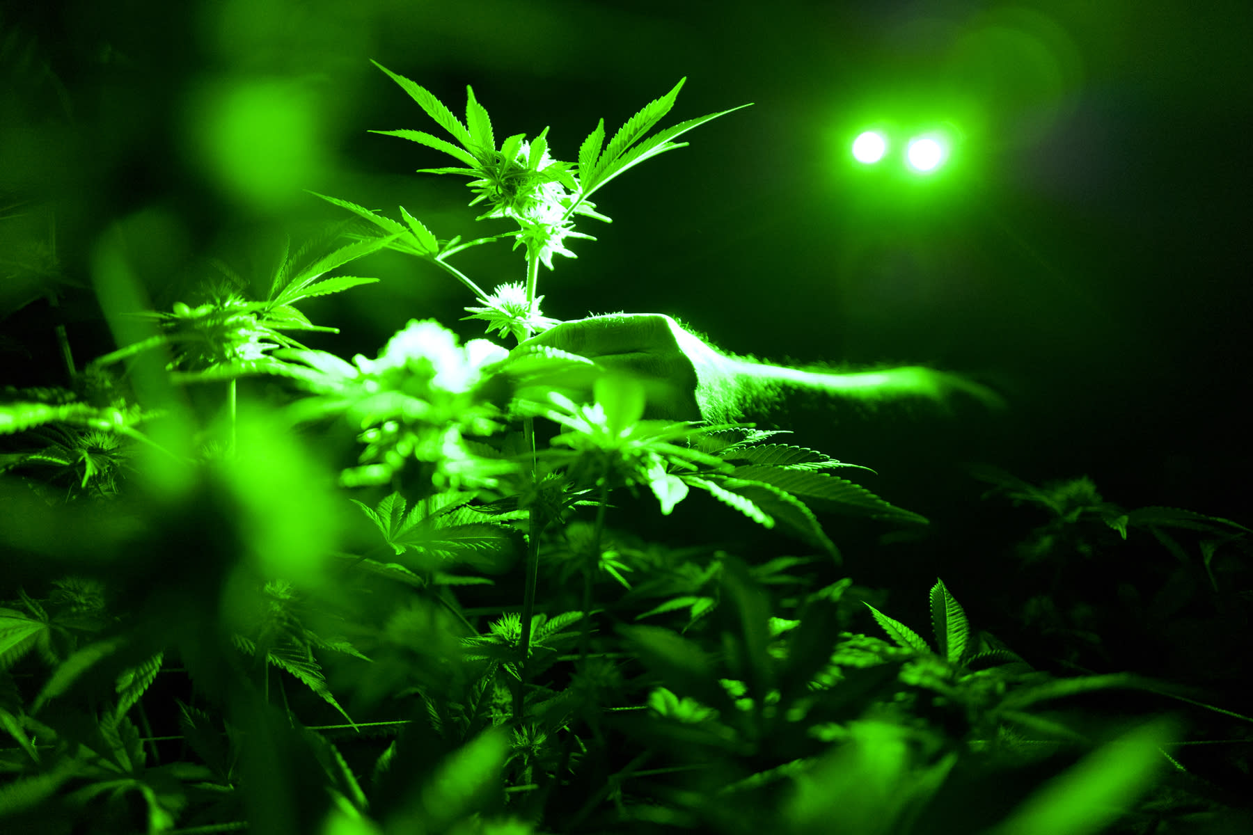 Cannabis company Canopy has a decade-long tailwind