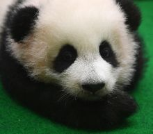 Panda cub makes first public appearance at Malaysia zoo