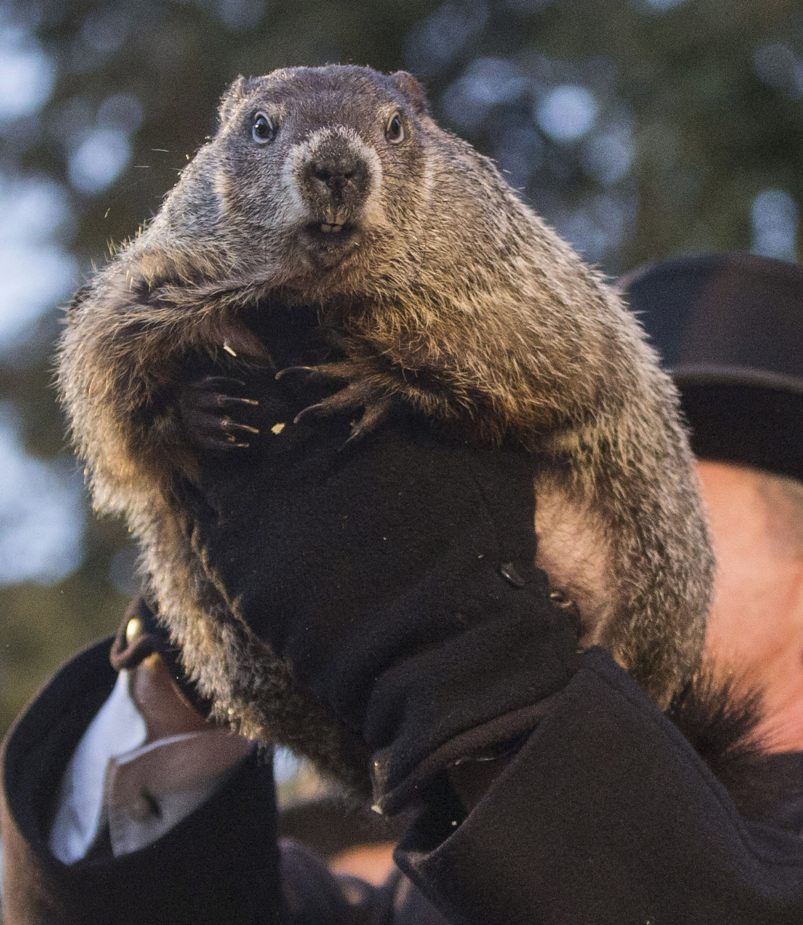 how accurate are groundhog day predictions