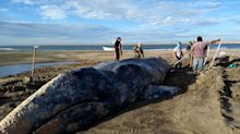 Explican la causa de las misteriosas muertes de ballenas grises en la costa oeste de EEUU