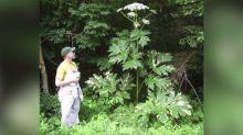 Una planta invasora capaz de causar quemaduras graves y ceguera aparece en Virginia