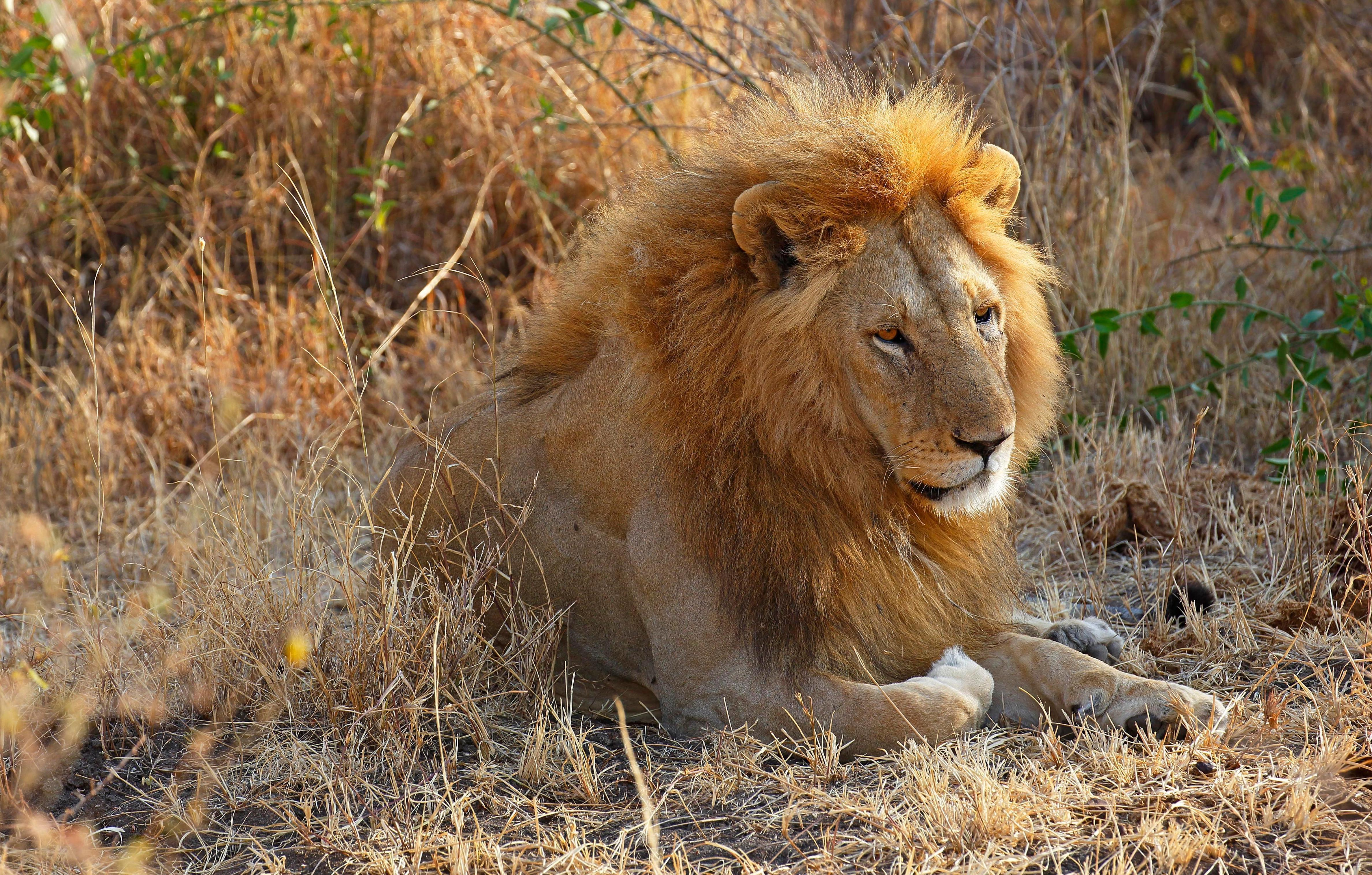 Suspected big cat poacher 'savaged and eaten alive by lion pride he was trying to hunt'