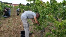 """Vendanges : il y a """"plus de demandes de travailleurs occasionnels français"""", selon le président des vignerons indépendants"""