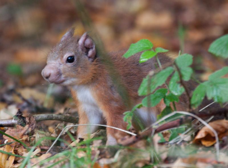 Red Squirrels Harbor Leprosy-Causing Bacteria
