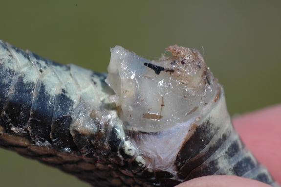 A copulatory plug in a red-sided garter snake.
