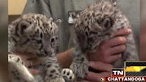 Across America: Snow leopard cubs make big debut in Tenn.