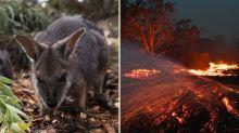 Feuer in Australien: Das größte Artensterben der Neuzeit?