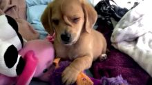 Narwhal The Unicorn Puppy Is Melting Hearts Worldwide