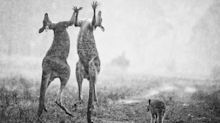 'It is a lie': The true story behind incredible photo of kangaroos 'celebrating rain'