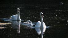 Hampstead Heath's 'widow swan' critically injured in suspected dog attack