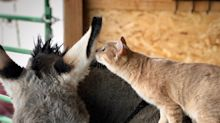 This cat and donkey have become best friends