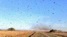 Frente fria intensa dificulta avanço de nuvens de gafanhotos ao Brasil