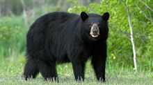 'Easygoing' Black Bear Tranquilized, Killed After Locals Admitted to Luring Animal for Photos