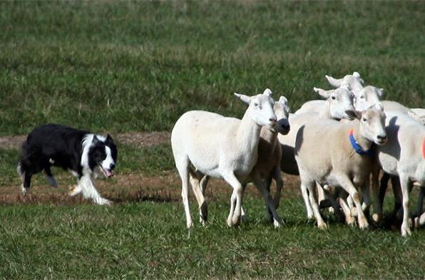 A sheep dog's herding instinct may teach robots a lesson in crowd control