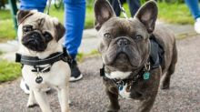 Popularity of pug-like dogs 'could be fuelling rise in canine fertility clinics'
